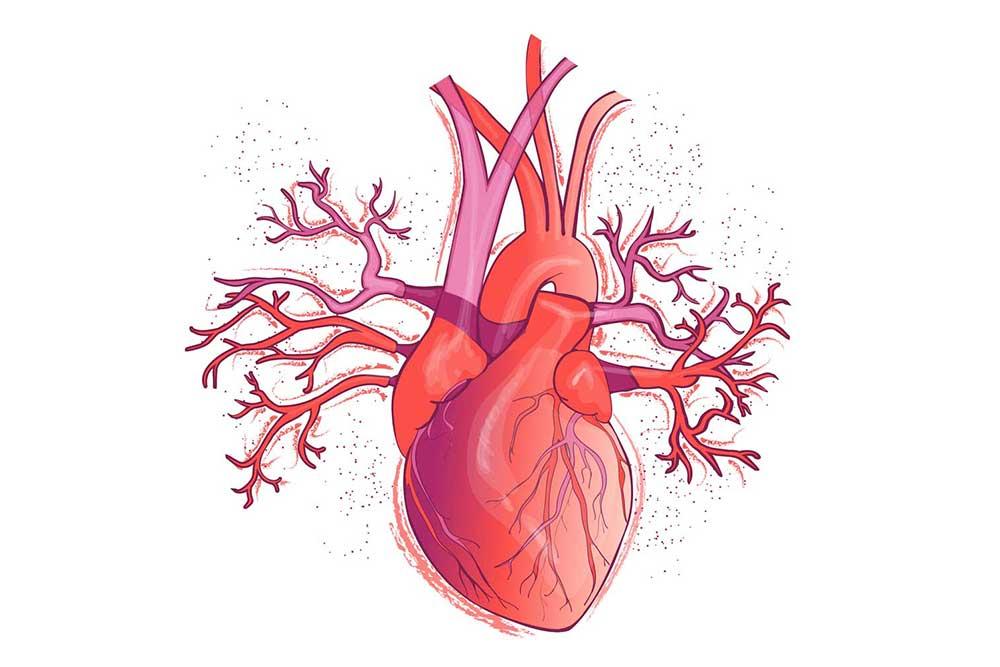 Heart-Human.jpg